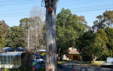 A Man Cutting Tree in Sydney Suburb